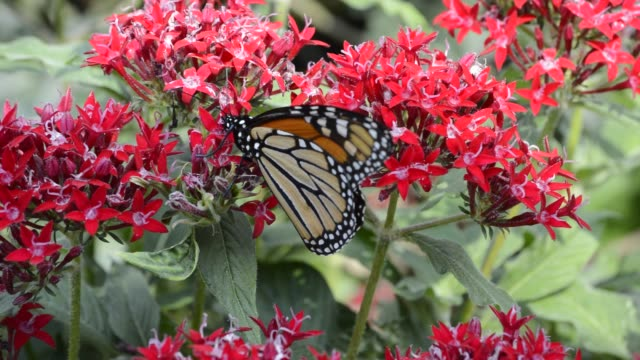Monarch butterfly on pentas flowers
