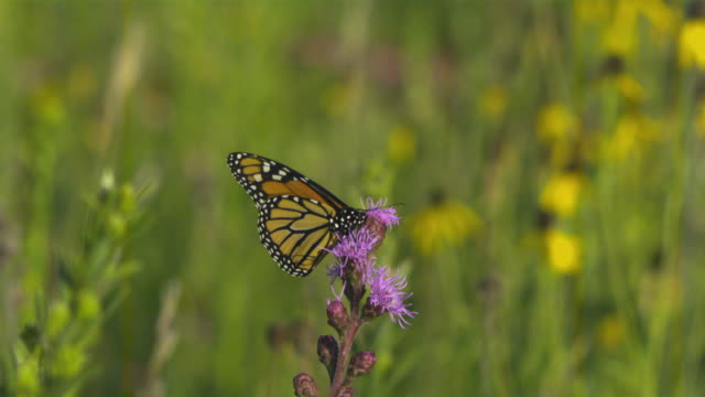 slo mo, ms, monarch butterfly (danaus plexippus) on purple thistle flower, wisconsin, usa - thistle stock videos & royalty-free footage