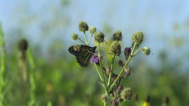 slo mo, ms, pan, monarch butterfly (danaus plexippus) on purple thistle flower, wisconsin, usa - thistle stock videos & royalty-free footage