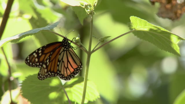 cu monarch butterfly (danaus plexippus) sitting on branch / angangueo, michoacan, mexico - michoacán video stock e b–roll