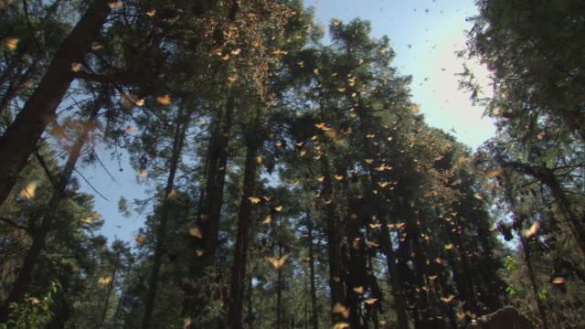 WS Monarch Butterfly swarm flying / El Rosario Monarch Butterfly Biosphere Reserve, Michoacán, Mexico