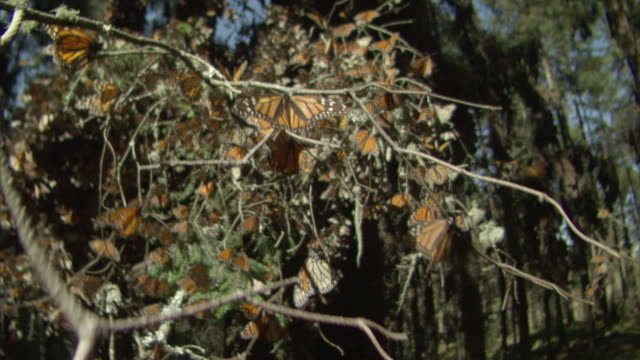 ms zi monarch butterfly swarm flying / el rosario monarch butterfly biosphere reserve, michoacán, mexico - michoacán video stock e b–roll