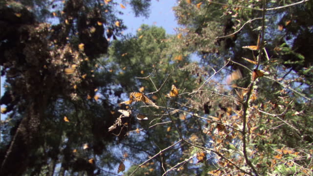 ws tu td monarch butterfly swarm flying / el rosario monarch butterfly biosphere reserve, michoacán, mexico - michoacán video stock e b–roll