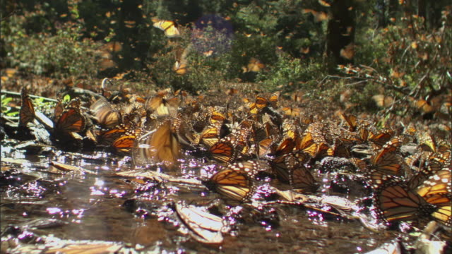 ws monarch butterfly swarm in flight / el rosario monarch butterfly biosphere reserve, michoacán, mexico - michoacán video stock e b–roll