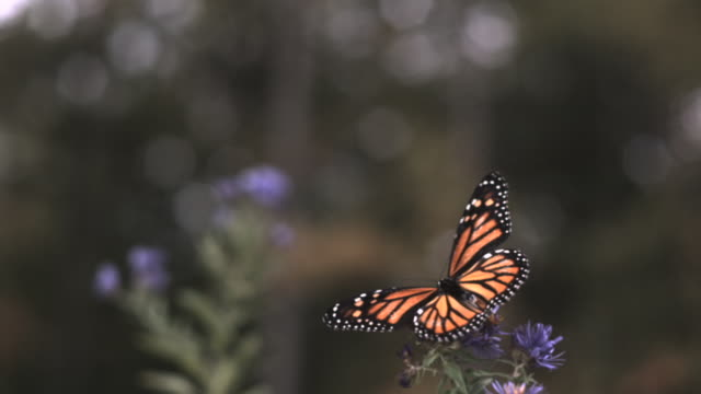 slomo monarch butterfly takes off from flower, usa - butterfly insect stock videos & royalty-free footage