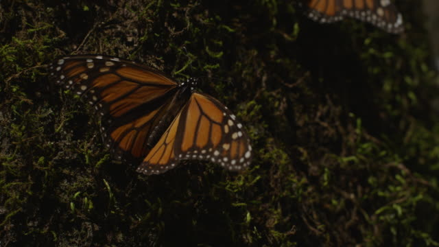 ms monarch butterfly vibrating wings on mossy tree trunk - moos stock-videos und b-roll-filmmaterial