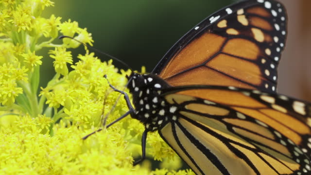 monarch butterfly - animal wing stock videos & royalty-free footage