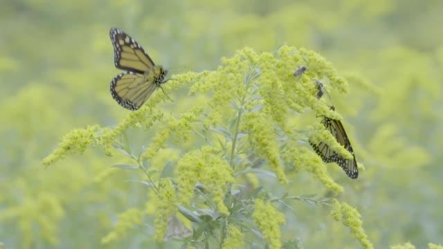 vidéos et rushes de papillon monarque - partie du corps d'un animal
