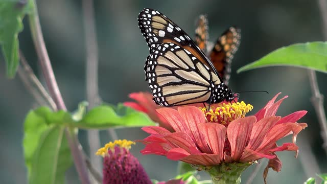 monarch butterfly - invertebrate stock videos & royalty-free footage