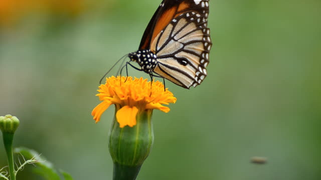 monarch butterfly - medium group of animals stock videos & royalty-free footage