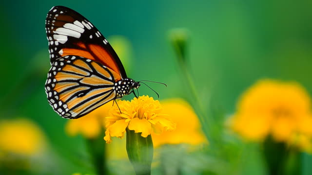 monarch butterfly - butterfly stock videos & royalty-free footage