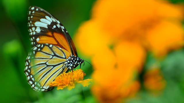 monarch butterfly - monarch butterfly stock videos & royalty-free footage