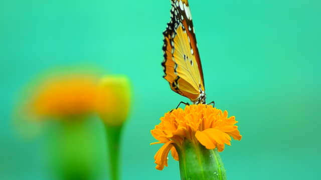 stockvideo's en b-roll-footage met monarch butterfly - voelspriet