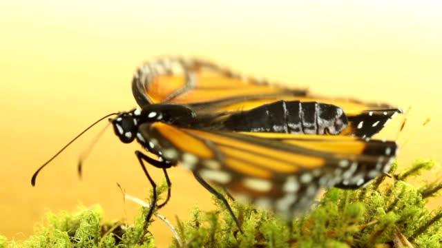 stockvideo's en b-roll-footage met monarchvlinder - pop