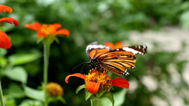 monarchfalter mit zinnia blume - anmut stock-videos und b-roll-filmmaterial