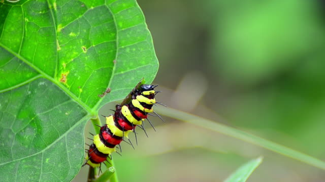 vídeos de stock, filmes e b-roll de monarch caterpillar comer - lagarta