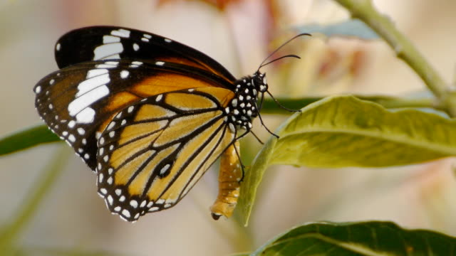 monarch close-up - butterfly garden stock videos & royalty-free footage