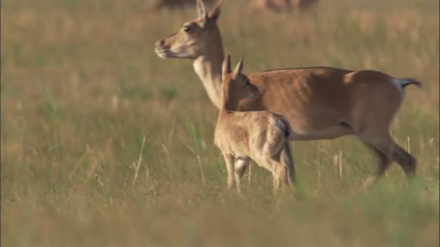 mongolian gazelle and fawn on steppe, mongolian steppe - 子鹿点の映像素材/bロール