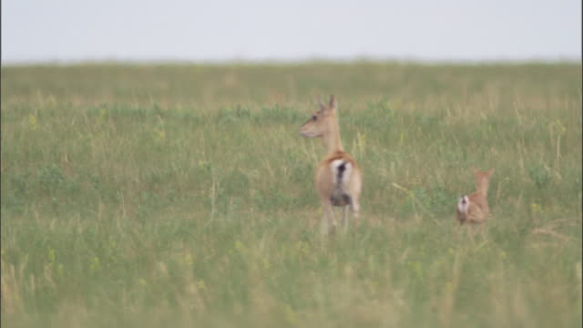 mongolian gazelle and fawn run away on steppe, mongolian steppe - 子鹿点の映像素材/bロール