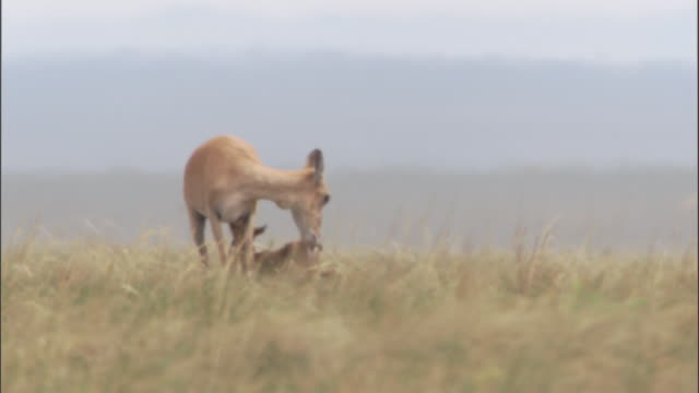 mongolian gazelle and newborn fawn on steppe, mongolian steppe - fawn stock videos & royalty-free footage