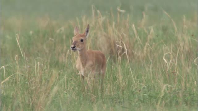 mongolian gazelle fawn on steppe, mongolian steppe - 子鹿点の映像素材/bロール