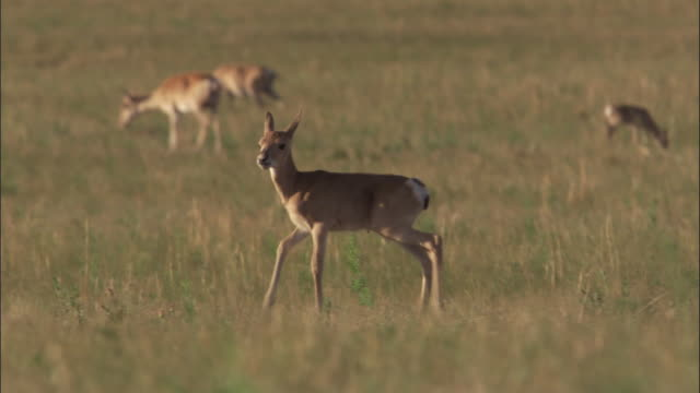 mongolian gazelle fawn on steppe, mongolian steppe - fawn stock videos & royalty-free footage