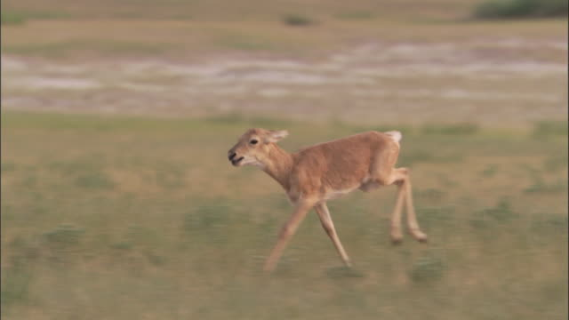 mongolian gazelle fawn runs on steppe, mongolian steppe - fawn stock videos & royalty-free footage