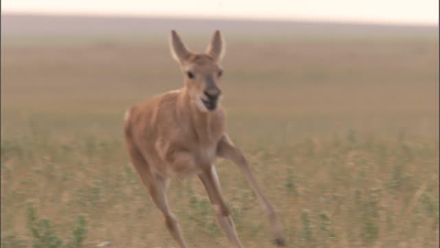 mongolian gazelle fawn runs on steppe, mongolian steppe - independent mongolia stock videos and b-roll footage