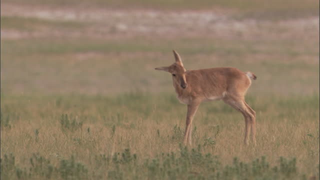 stockvideo's en b-roll-footage met mongolian gazelle fawn runs on steppe, mongolian steppe - reekalf