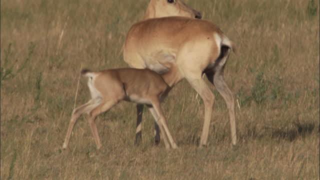 mongolian gazelle fawn suckles on steppe, mongolian steppe - 子鹿点の映像素材/bロール