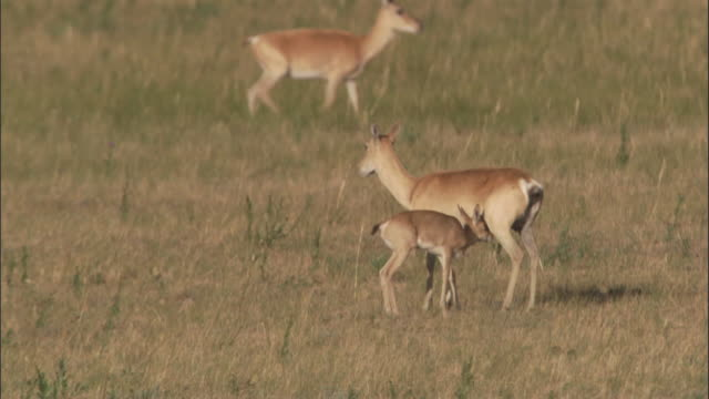 mongolian gazelle fawn suckles on steppe, mongolian steppe - small group of animals stock videos & royalty-free footage