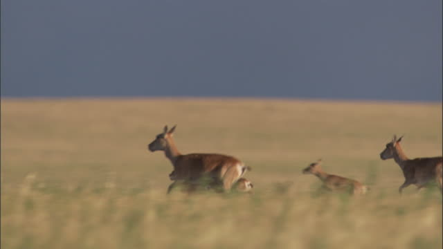 mongolian gazelle herd runs on steppe, mongolian steppe - fawn stock videos & royalty-free footage