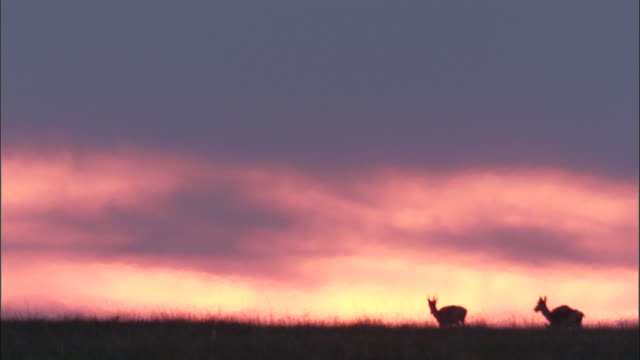 mongolian gazelles on steppe at sunset, mongolian steppe - medium group of animals stock videos & royalty-free footage
