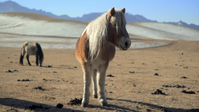 mongolian horse with long white mane standing on meadow field - northern countryside, mongolia - independent mongolia stock videos & royalty-free footage