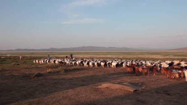mongolian nomad man on a horse driving sheep and goats flock to a sheep catch pen - minority groups stock videos & royalty-free footage