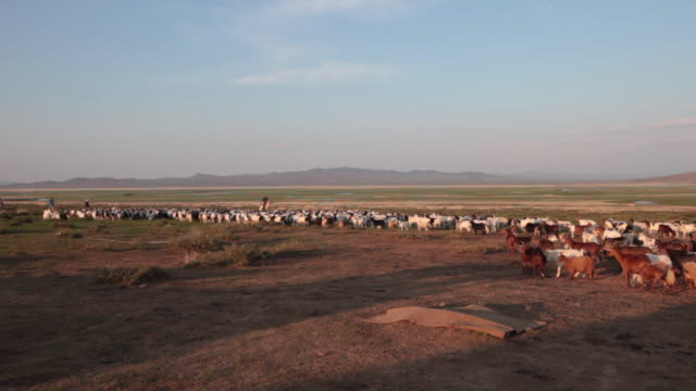 mongolian nomad man on a horse driving sheep and goats flock to a sheep catch pen - nomadic people stock videos & royalty-free footage