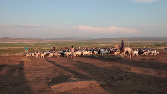 mongolian nomads driving sheep and goats flock to a sheep catch pen - minority groups stock videos & royalty-free footage