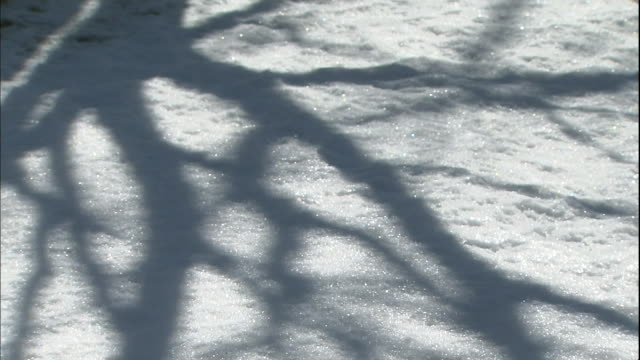 vídeos de stock e filmes b-roll de mongolian oak tree branches cast shadows on the snow. - árvore de folha caduca