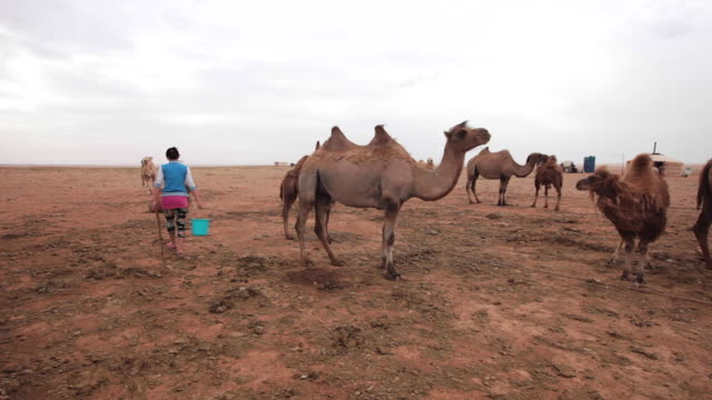 Mongolian woman is going to milk a camel in a remote camel farm in Gobi desert, Mongolia