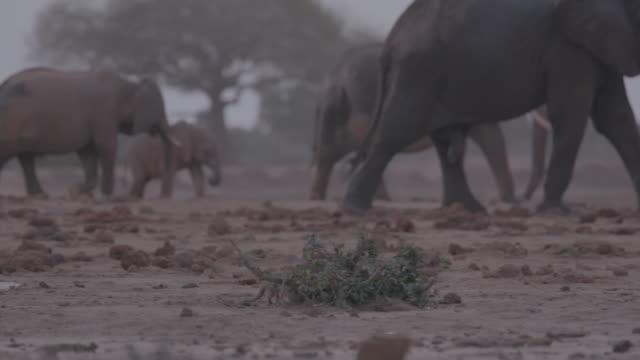 mongoose and herd of elephants / africa - pflanzenfressend stock-videos und b-roll-filmmaterial