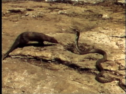 vidéos et rushes de 1957 ms mongoose attacking cobra - reportage