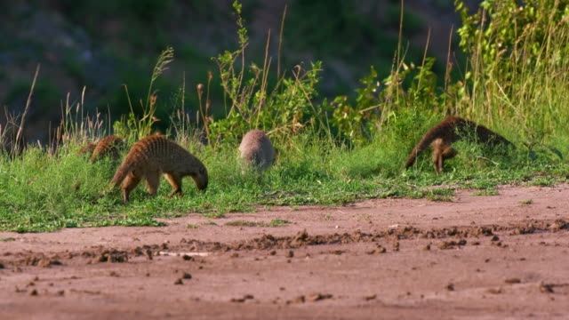 mongooses foraging in grass, maasai mara, kenya, africa - foraging stock videos and b-roll footage