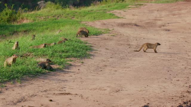 mongooses foraging near track, maasai mara, kenya, africa - foraging stock videos & royalty-free footage