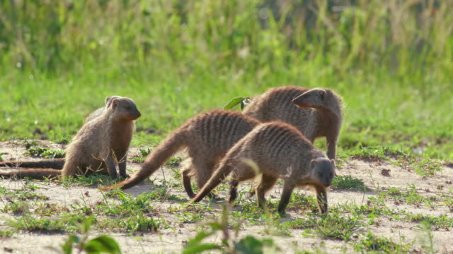 mongooses walking & foraging, maasai mara, kenya, africa - foraging stock videos & royalty-free footage