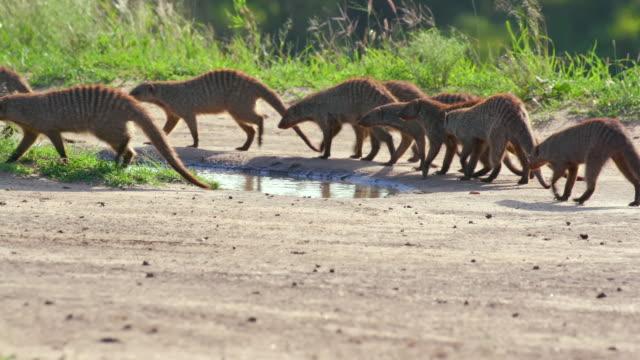 mongooses walking & foraging, maasai mara, kenya, africa - foraging stock videos and b-roll footage