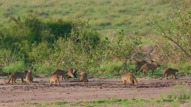 mongooses walking & foraging on track, maasai mara, kenya, africa - foraging stock videos and b-roll footage