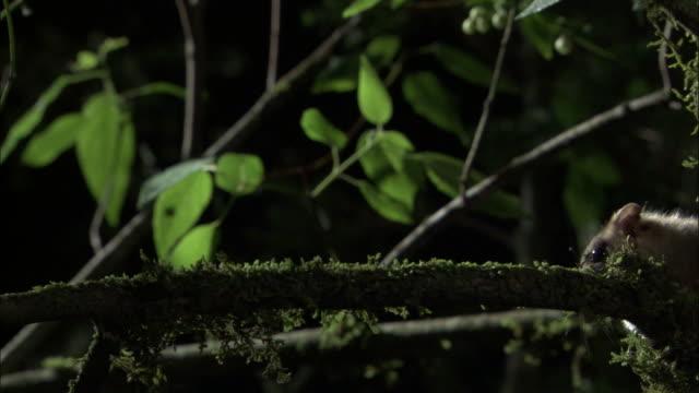 vídeos de stock, filmes e b-roll de monito del monte on branch at night, chile - marsupial