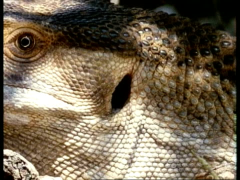 vidéos et rushes de cu monitor lizard ear, hole behind eye and edge of mouth, kenya - cou d'animal