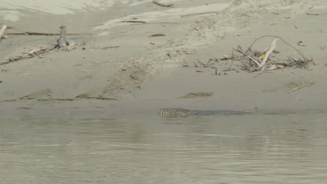 monitor lizard swimming up river - extinct stock videos and b-roll footage