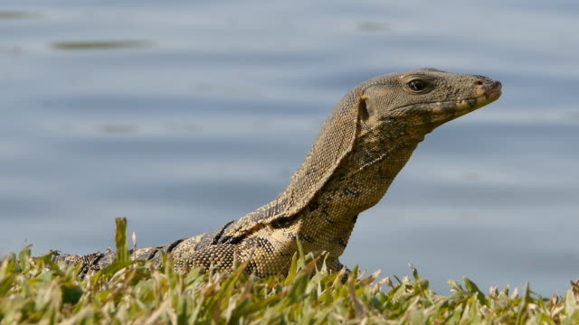 monitor lizard - water monitor stock videos and b-roll footage